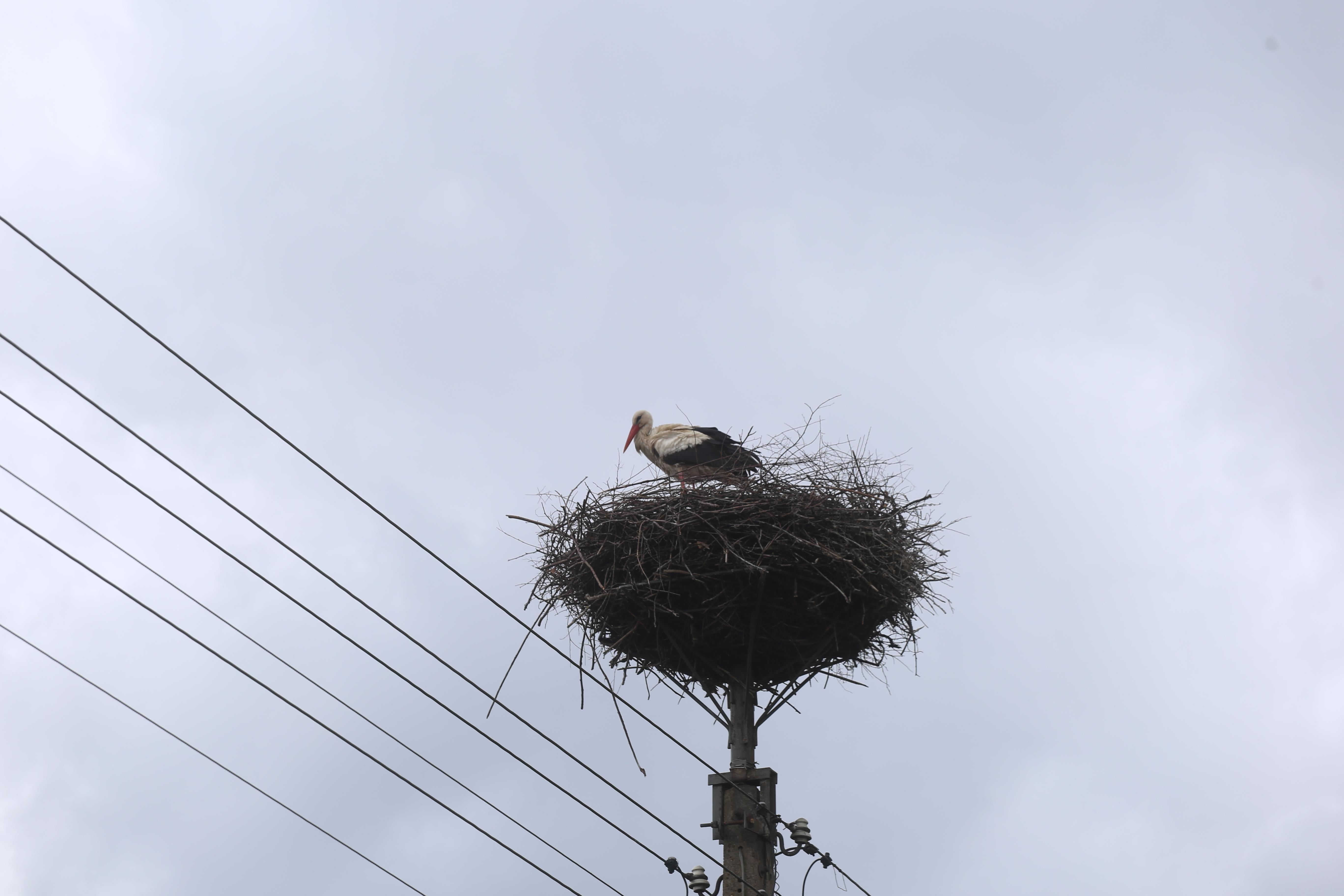 Zdjęcie: Bocian biały w gnieździe