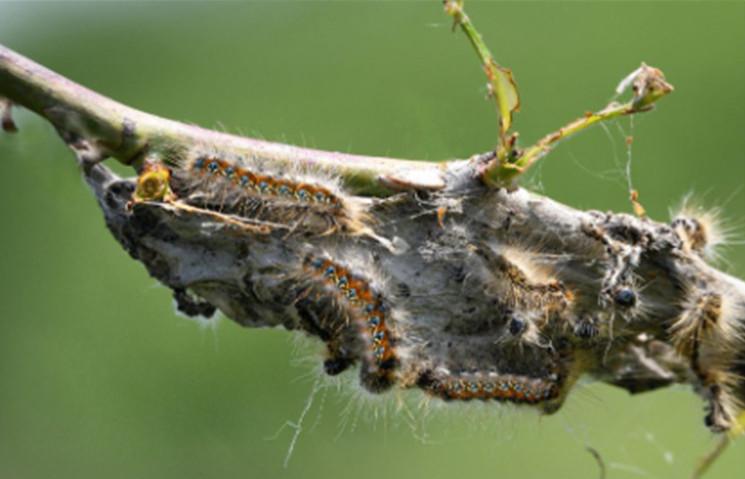 Gąsienice barczatki kataks