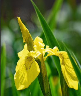 Irys, kosaciec żółty (Iris pseudacorus)