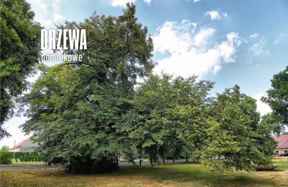 Pomnik przyrody: lipa w Legnickim Polu