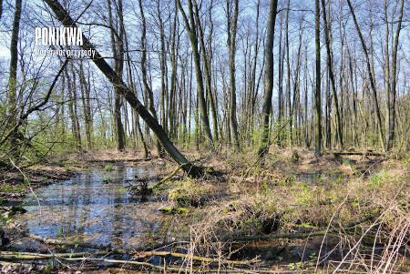 Rezerwat Ponikwa, łęg            jesieniowo-wiązowy